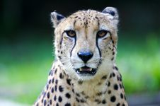 King Cheetah Royalty Free Stock Photo