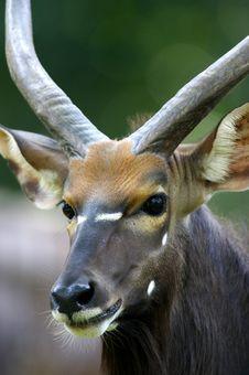 Free African Waterbuck Royalty Free Stock Photos - 3631148