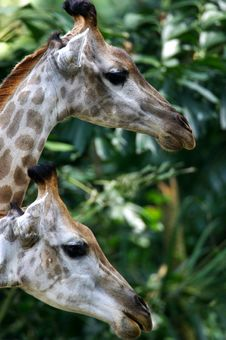 Free African Giraffes Royalty Free Stock Photo - 3631165