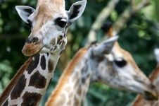 Free African Giraffes Stock Photo - 3631170