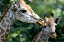 Free African Giraffes Stock Photography - 3631172