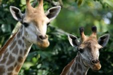 Free African Giraffes Stock Photo - 3631180