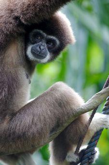 Free White Handed Gibbon Stock Image - 3631281