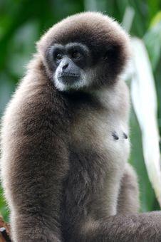 Free White Handed Gibbon Stock Image - 3631291