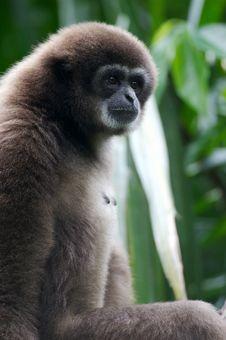 Free White Handed Gibbon Royalty Free Stock Photo - 3631295