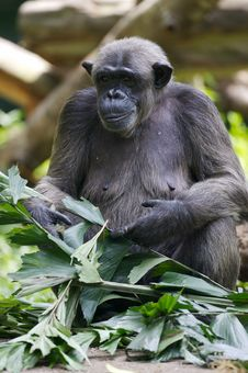 Free Chimpanzee Stock Photo - 3631300