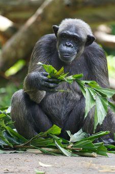 Free Chimpanzee Stock Images - 3631304