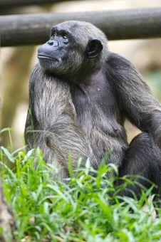 Free Chimpanzee Stock Photos - 3631343