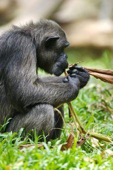 Free Chimpanzee Royalty Free Stock Photos - 3631348