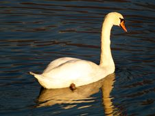 Free Swan Royalty Free Stock Photos - 3631428