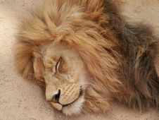 Free Lion Royalty Free Stock Photos - 3631458