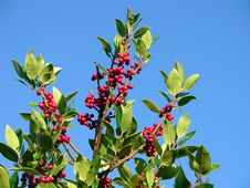 Free Holly Berries Stock Image - 3632831