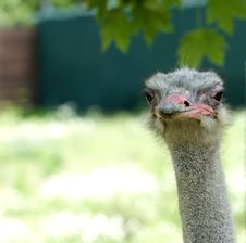 Free Ostrich Head Stock Image - 3633241