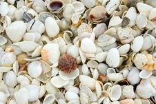 Calico Scallop Seashell Royalty Free Stock Photos