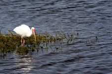 Free White Ibis Royalty Free Stock Photography - 3634607