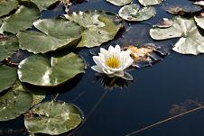 Free Water Lily, White Lotus Stock Photos - 3636693