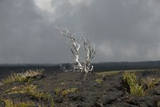 Lone Tree In The Lava Royalty Free Stock Photography