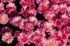 Pink Chrysanthemums Stock Images