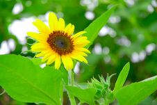 Free Sunflower With Gree Background Stock Images - 3637414