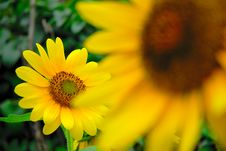 Free Sunflower Stock Image - 3637491