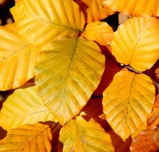 Free Autumn Leaves Royalty Free Stock Photography - 3638507