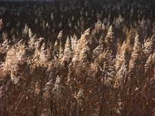 Free Withered Reeds Stock Image - 3639051