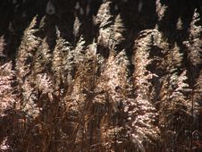 Free Withered Reeds Stock Photography - 3639052
