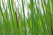 Free Reeds Background Stock Images - 3639454
