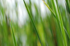 Free Reeds Background Stock Photo - 3639630