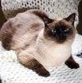 Free Siamese Cat Royalty Free Stock Photos - 36301248