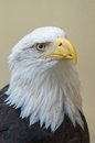 Free Detail Of Bald Eagles Head Royalty Free Stock Photography - 36305757