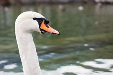 Free The Proud Swan Royalty Free Stock Photos - 36300618