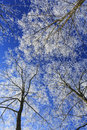 Free Frost Covered Trees, Profiled On Bright Sky In Winter Royalty Free Stock Image - 36310286