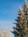 Free Winter Trees Under Snow In Sunny Day Stock Photo - 36317050