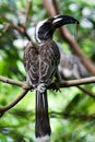 Free Hornbill Stock Photos - 36318173
