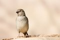 Free Sparrow Stock Images - 36318704