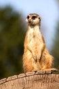 Free Meerkat Royalty Free Stock Image - 36318806