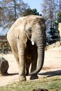 Free Elephant In Zoo Royalty Free Stock Image - 36319016