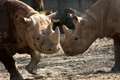 Free Two Rhinos Royalty Free Stock Images - 36319239