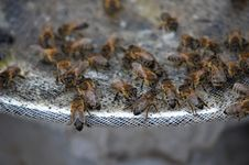 Free Bees At Work Stock Photo - 36310210