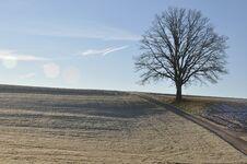 Free Lone Oak In Winter Stock Photo - 36310830