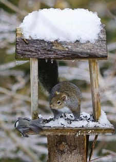 Free Eastern Gray Squirrel At Backyard Feeder Stock Images - 36312584