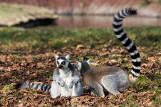 Free Lemur Royalty Free Stock Image - 36318076
