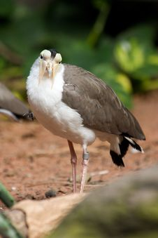 Lapwing Australian Royalty Free Stock Photography