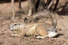 Squirrel Cape Stock Photography
