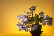 Free Cyclamen Flowers Stock Images - 36318744