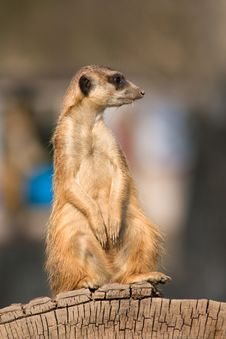 Free Meerkat Royalty Free Stock Images - 36318799
