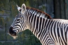Free Zebra Royalty Free Stock Image - 36318826