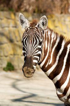 Free Zebra Stock Image - 36318961