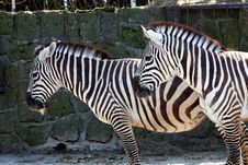 Free Zebras Royalty Free Stock Photography - 36318967